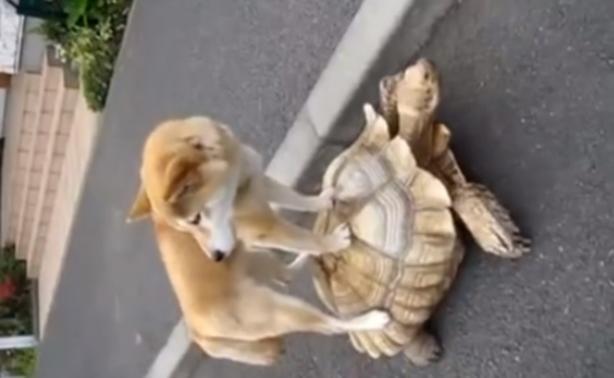 Απίστευτο βίντεο: Ο σκύλος που διάλεξε για μεταφορικό μέσο...μια χελώνα!