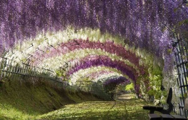 zp_26453_Wisteria-Tunnel.jpg