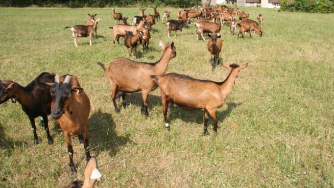 κτηνοτρόφος Αλόννησος